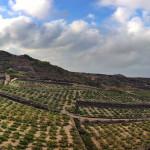 Tempo di vendemmia a Pantelleria